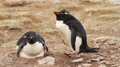 Rockhopper Penguin Stock Footage