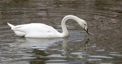 White swan floating on the lake - stock photo