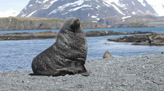 Fur Seal on South Georgia Isaland Stock Footage