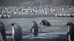 King Penguin Colony on South Georgia Stock Footage