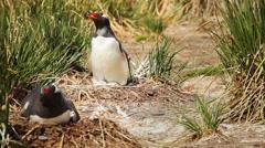 Nesting Gentoo Penguin Stock Footage