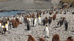 King Penguin Colony on South Georgia - stock footage