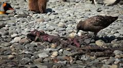 Skua Picks at Seal Carcass Stock Footage