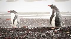 Blizzard Gentoo Penguin Stock Footage