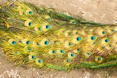 beautiful peacock feathers as a background - stock photo