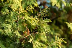 Green arborvitae branch on the nature Stock Photos