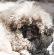 portrait of a fluffy dog - stock photo