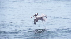 Pelican Flying Slow Motion Stock Footage