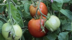 Tomatoes Growing on a Farm. Ripe Harvest. Stock Footage