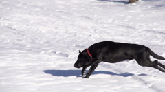 Dog Fetching Stock Footage