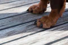 Paws of a big brown dog on the wooden floor - stock photo