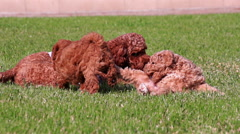 Poodle Puppies Playing Slow Motion Stock Footage