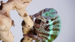 Chameleon Eating Slow Motion Stock Footage