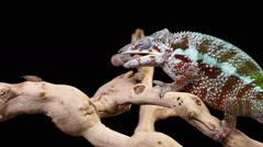 Chameleon Eating Slow Motion Stock Footage