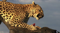 Leopard in Africa - stock footage