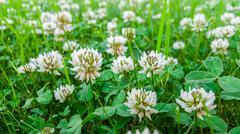 Medicinal plant, white clover field. Stock Photos