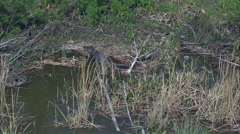 Alligator On Edge Of Lake Apopka Stock Footage