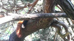 Red panda naps in a tree Stock Footage