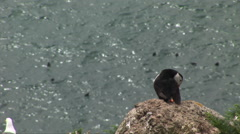 Puffin on rock with other birds in water below Stock Footage
