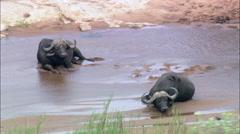 Water Buffalo Stock Footage