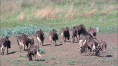 Springbok, Impala, Wildebeest And Blesbok Stock Footage