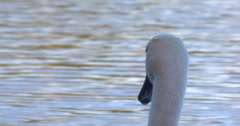 Swan head close up against golden green lake water 2K 100fps Stock Footage