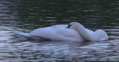 Sleeping White Swan mid shot 2K Stock Footage