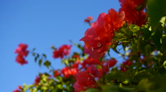 Pink Red bougainvillea flowers against Blue sky Stock Footage