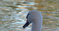 Swan Head close up on shimmering golden lake Stock Footage