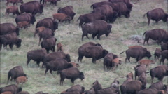 Riders Driving Bison Herd Stock Footage