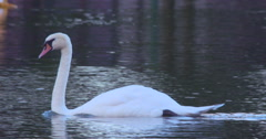 White Swan glides gracefully over lake waters 2K 100fps Stock Footage
