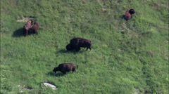 Buffalo Grazing In Custer Park Stock Footage