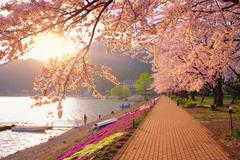 Sakura & Sunset Stock Photos