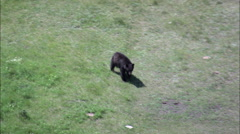 Black Bear Slowly Heading For The Woods Stock Footage