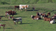 Cattle And Horses On Grant Kohrs Ranch Stock Footage