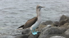 Blue-footed booby on the rocky shore of isla lobos in the galapagos Stock Footage