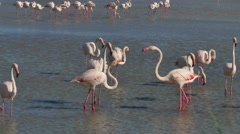 Wild Birds In Water Pond Pink Flamingos In Camargue France Stock Footage