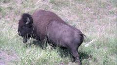 Bison In National Bison Range Stock Footage
