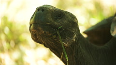 Extreme close up of a giant tortoise on isla santa cruz in the galapagos Stock Footage