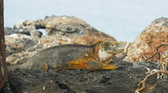 Close up of a land iguana on isla santa fe in the galapagos Stock Footage