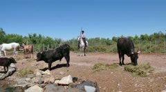 Cowboy Animal Herder Man Tending Cattle On Ranch In France Stock Footage