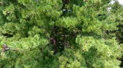Vertical panorama along the large cedars. climbing Stock Footage