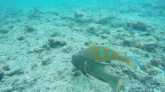 Parrotfish and hogfish swimming together at devil's crown in the galapagos Stock Footage
