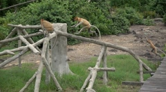 Proboscis Monkey (Nasalis larvatus) endemic  of Borneo. Super slow motion 240fps Stock Footage