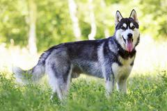 Dog breed Siberian Husky Stock Photos