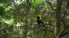 4k Palawan Hornbill (Anthracoceros marchei) sit on the tree branch. Stock Footage