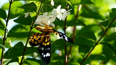 HD footage Monarch Butterfly Stock Footage