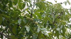 Green Walnuts Stock Footage