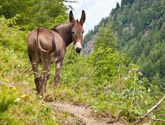 Donkey on Italian Alps Stock Photos