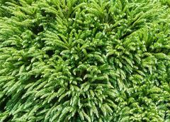 Evergreen conifer trees background. Stock Photos